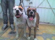 Boxers cachorros