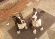 Vento      cachorro   bull terie  de  tansolo 3  meses