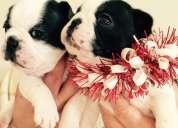 Hermosos cachorros,, bulldog frances,,